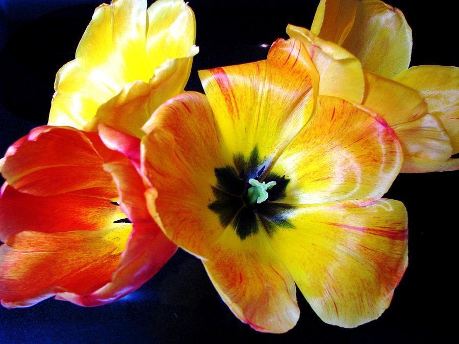 First Bouquet Photograph - Spring Tulips Xx by Judyann Matthews