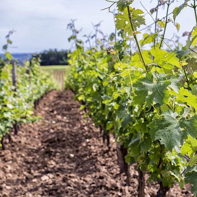 Vineyard Photograph - Spring Vines by Georgia Fowler