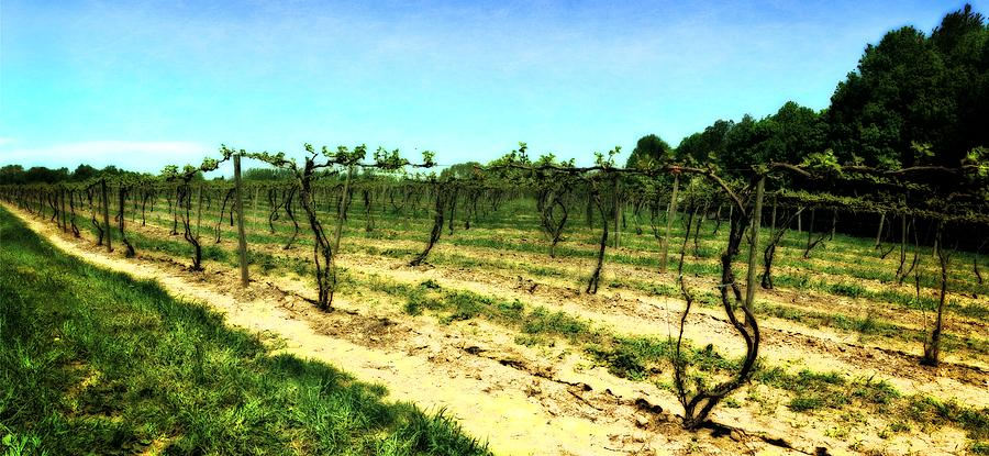 Grape Vines Photograph - Spring Vineyard Ll by Michelle Calkins