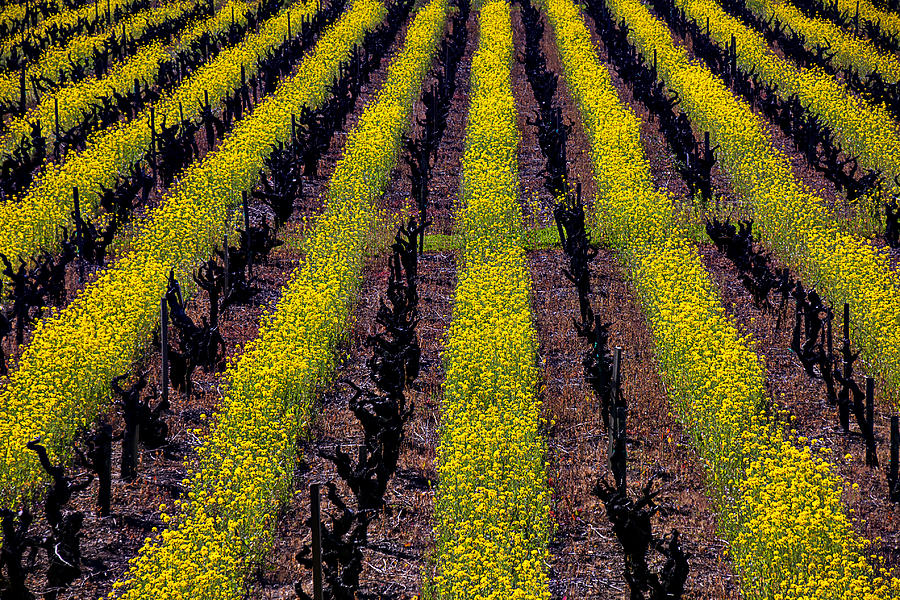Napa Photograph - Spring Vinyards by Garry Gay