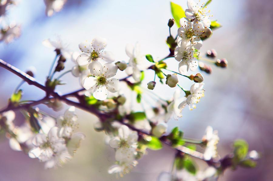 Cherry Photograph - Spring White Cherry Tree  by Jenny Rainbow