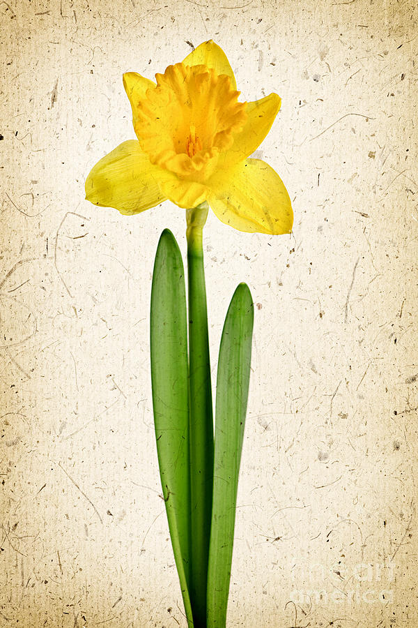 Flower Photograph - Spring Yellow Daffodil by Elena Elisseeva