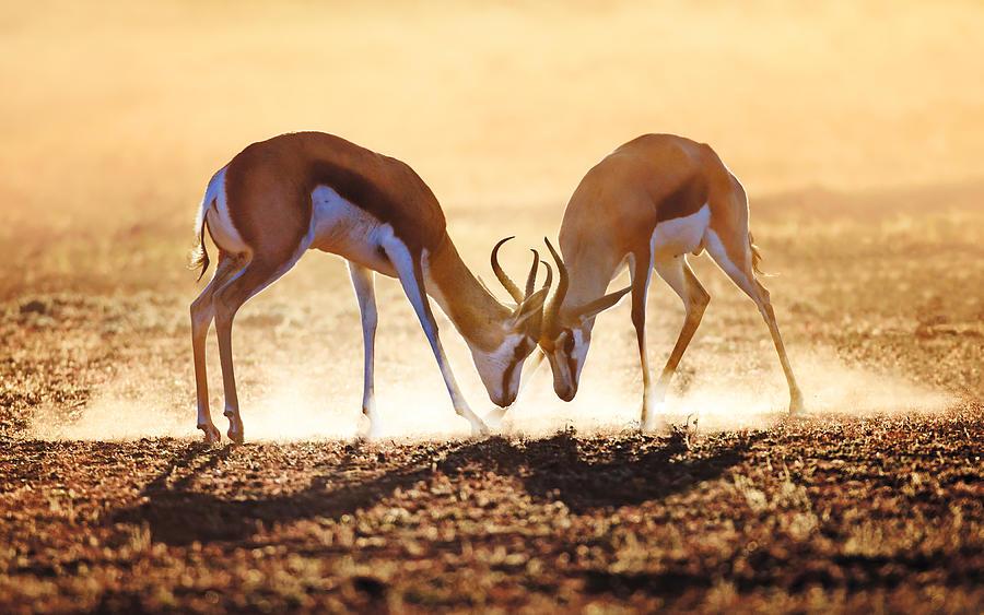 Springbok Photograph - Springbok dual in dust by Johan Swanepoel