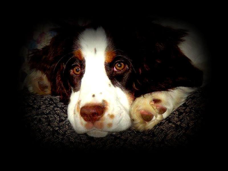Pup Photograph - Springer by Dancingfire Brenda Morrell
