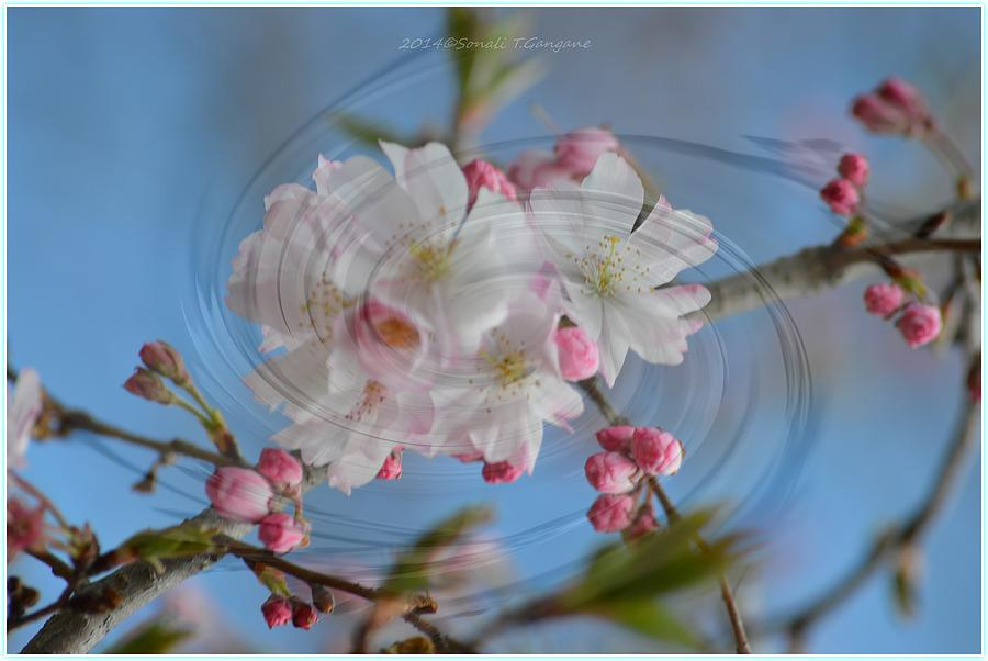 Cherry Blossoms Photograph - Springing Blossoms by Sonali Gangane