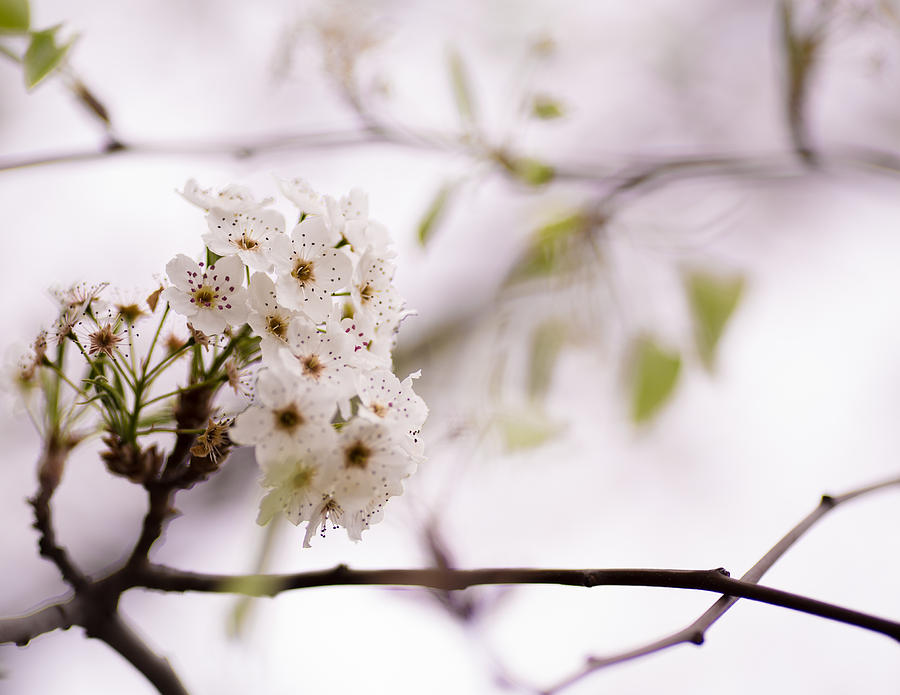 Flower Photograph - Springs Blossom  by Mike Lee