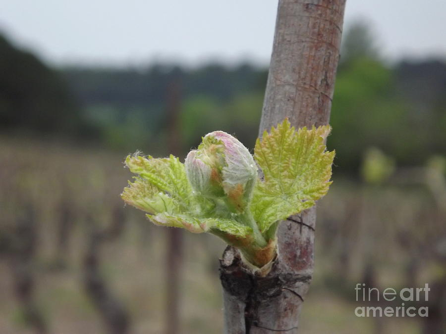 Vineyard Photograph - Spring In The Vineyard by France  Art