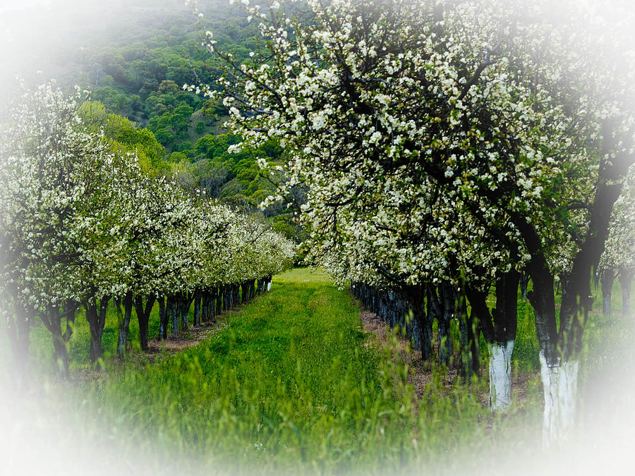 Agriculture Photograph - Springtime In The Orchard by Bill Gallagher