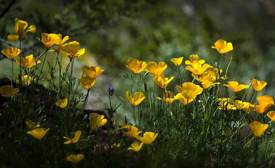 Poppies Photograph - Springtime Poppies  by Saija  Lehtonen