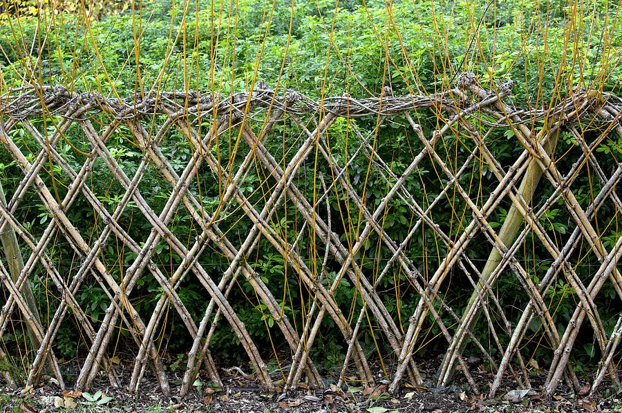 No-one Photograph - Sprouting Willow Fence by Bob Gibbons