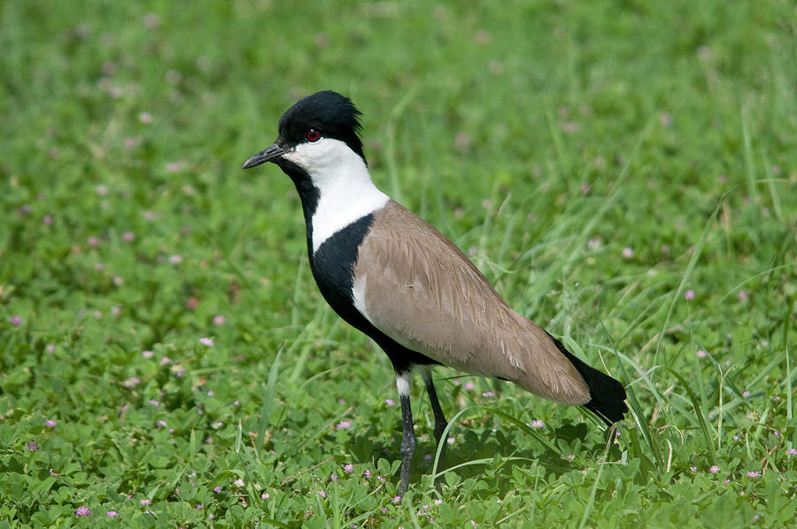 Bird Photograph - Spur-winged Plover by Nigel Downer