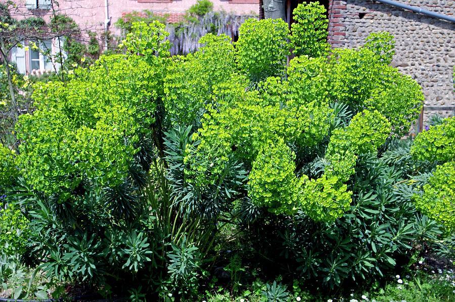 Spurge Euphorbia Characias Sp Wulfenii Photograph By Brian