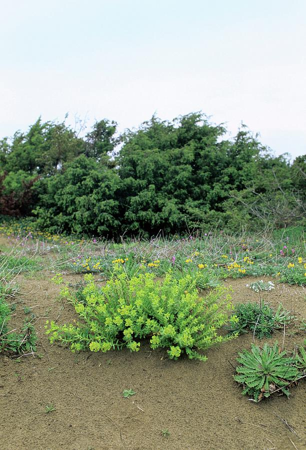 Spurge Euphorbia Terracina Photograph By Bruno Petriglia Science