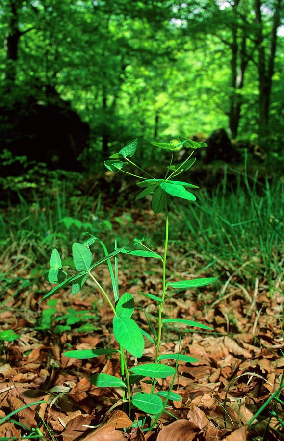 Plant Photograph - Spurge Plant (euphorbia Dulcis) by Bruno Petriglia/science Photo Library