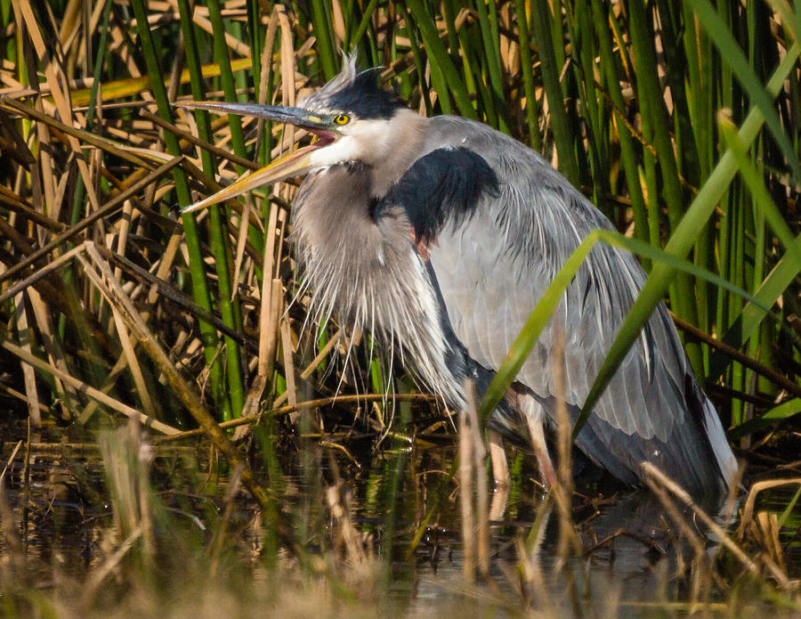 Squaking Blue Heron Photograph by Gregory Daley  MPSA