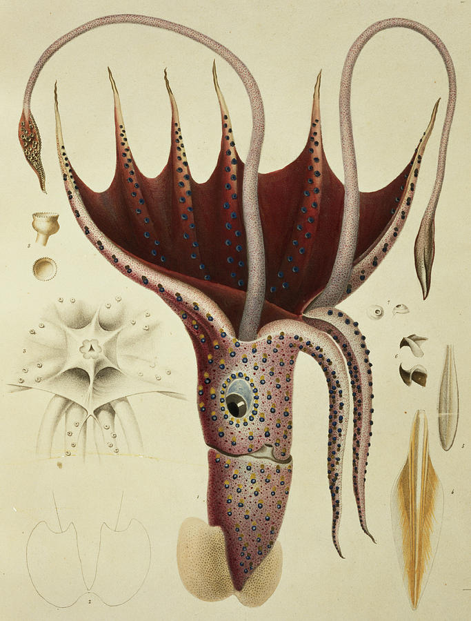 Nature Painting - Squid by A Chazal