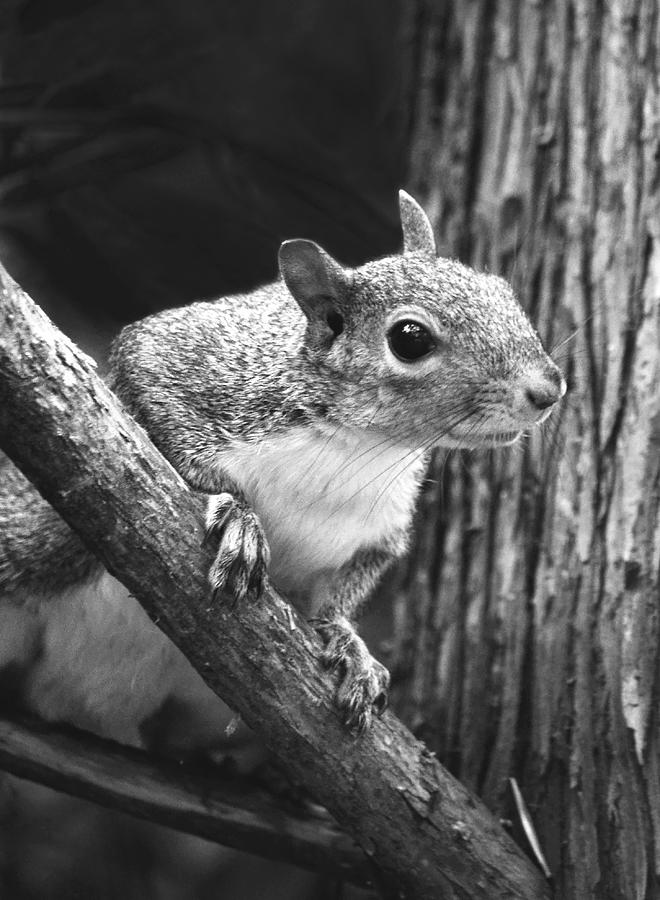 Eastern Squirrel Photograph - Squirrel Black And White by Sandi OReilly