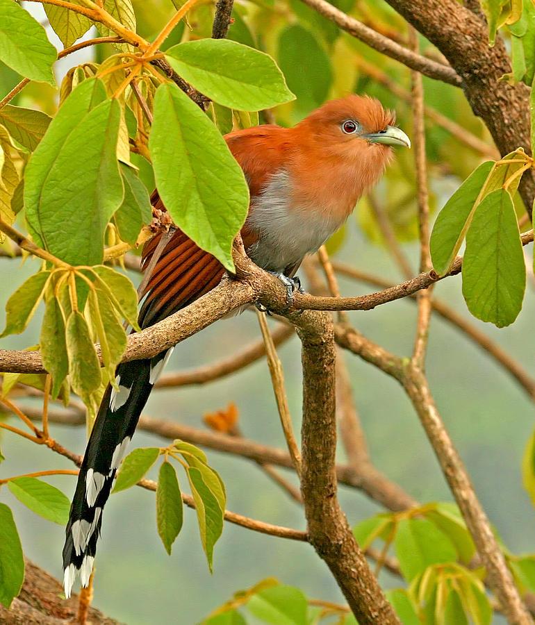 Cuckoo Birds Photograph - Squirrel Cuckoo In Costa Rica by Peggy Collins