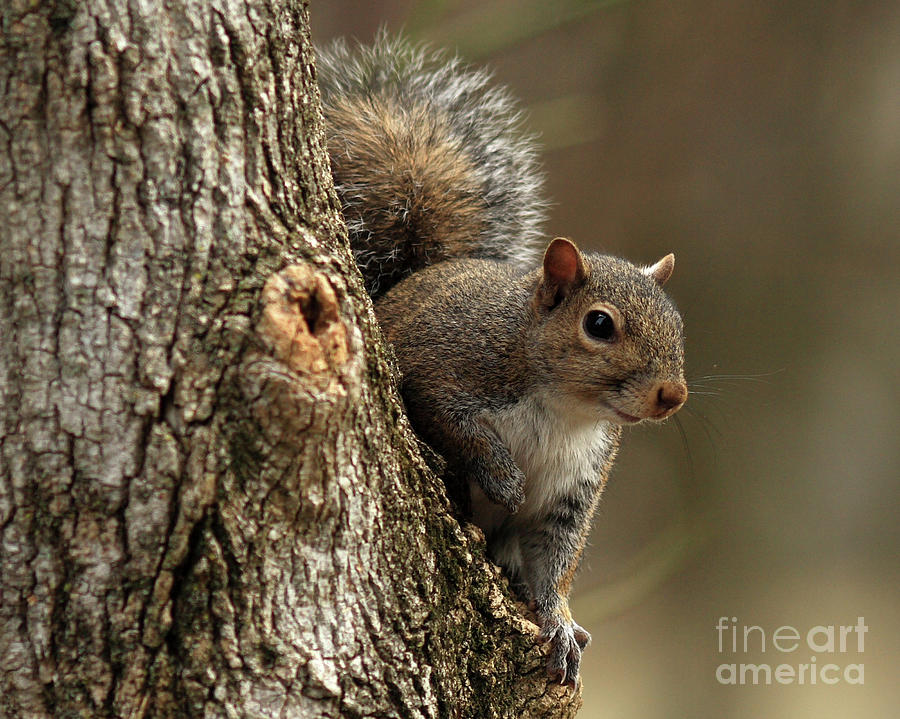 Squirrel Photograph - Squirrel by Douglas Stucky