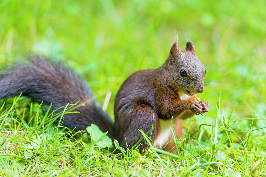 Squirrel Eating A Nut In The Grass Photograph by Picture By Tambako The Jaguar