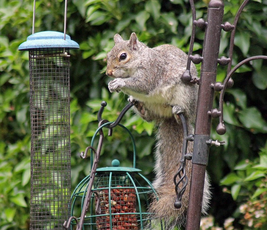 Grey Squirrel Photograph - Squirrel Eating Nuts by Tony Murtagh