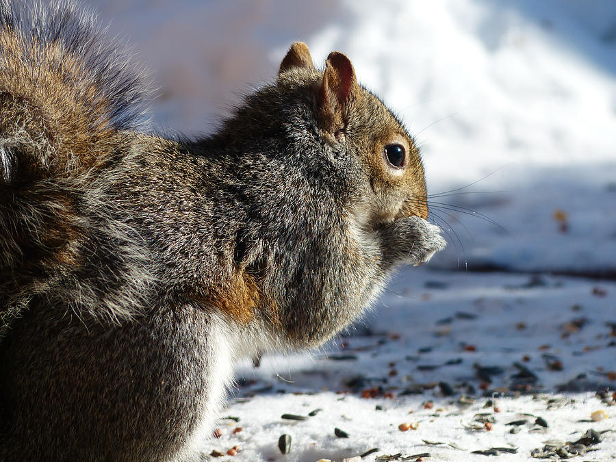 Squirrel Eating Sunflowers by Rural America Scenics