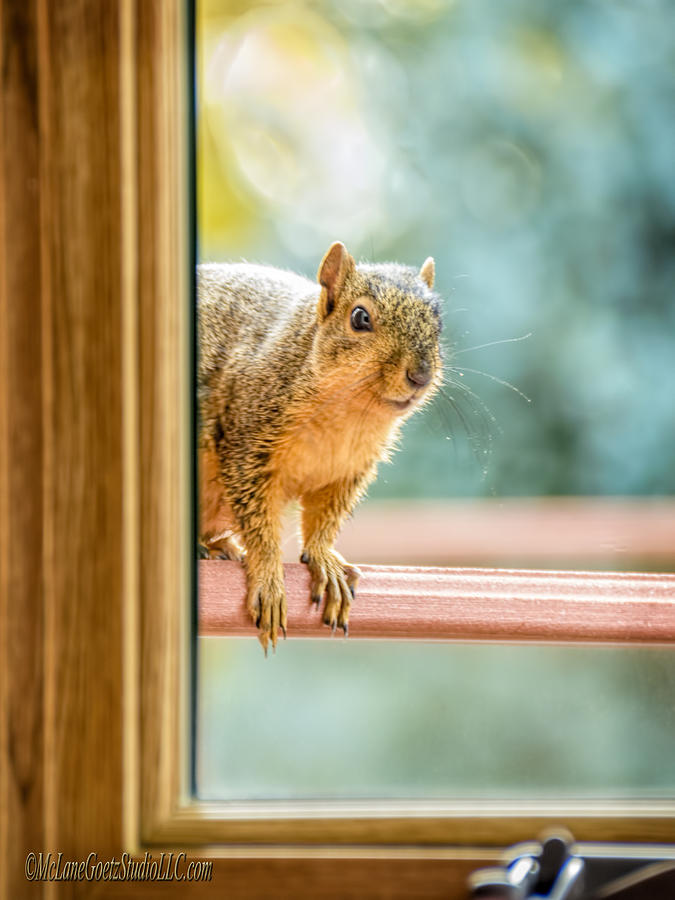 Animals Photograph - Squirrel In The Window by LeeAnn McLaneGoetz McLaneGoetzStudioLLCcom