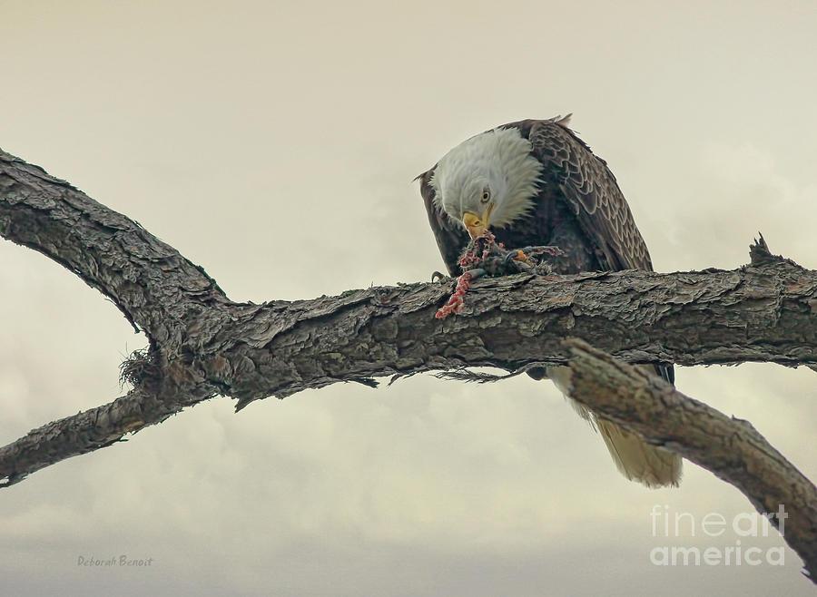 Eagle Photograph - Squirrel Lunch by Deborah Benoit