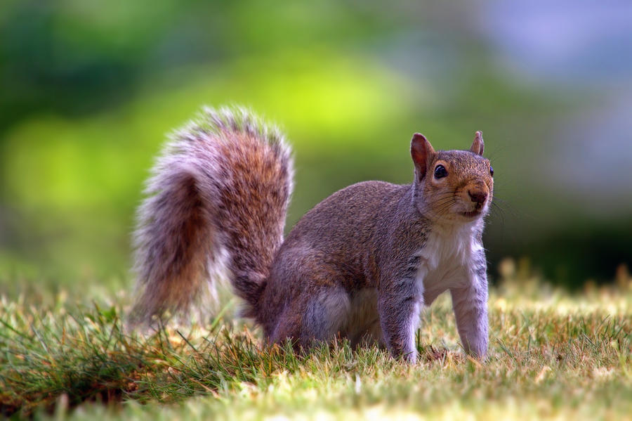 Animal Photograph - Squirrel On Grass by William Freebilly photography
