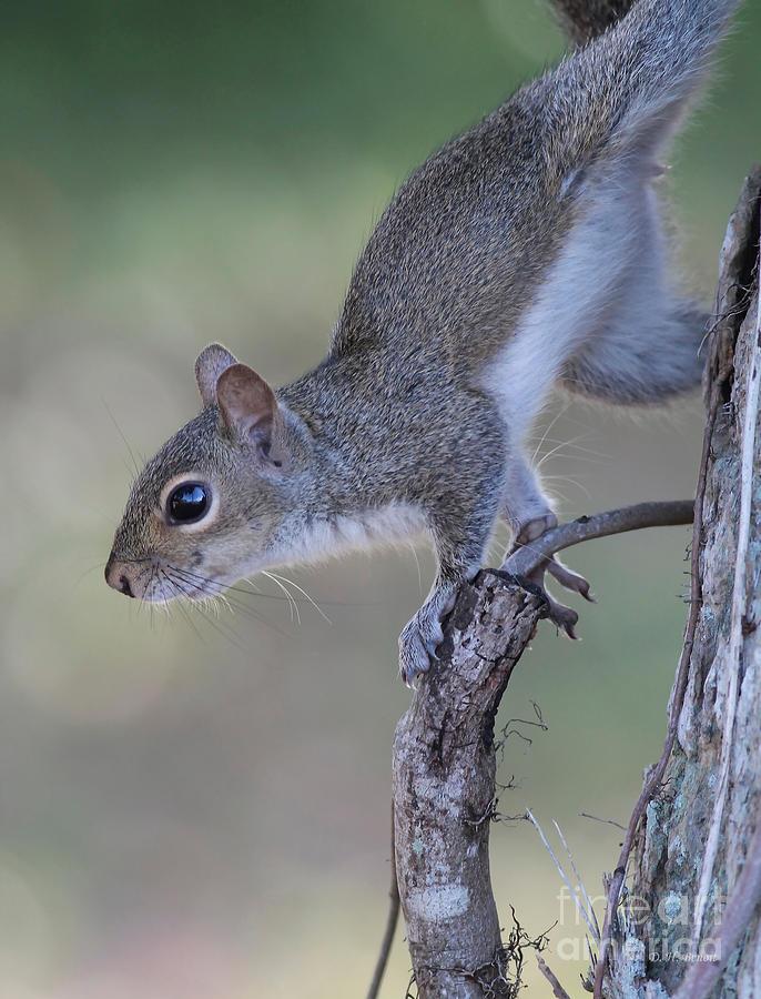 Squirrel Photograph - Squirrel Pose by Deborah Benoit