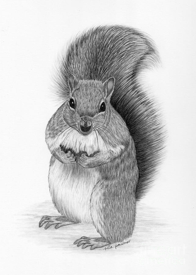 Squirrel Drawing By Rita Palmer