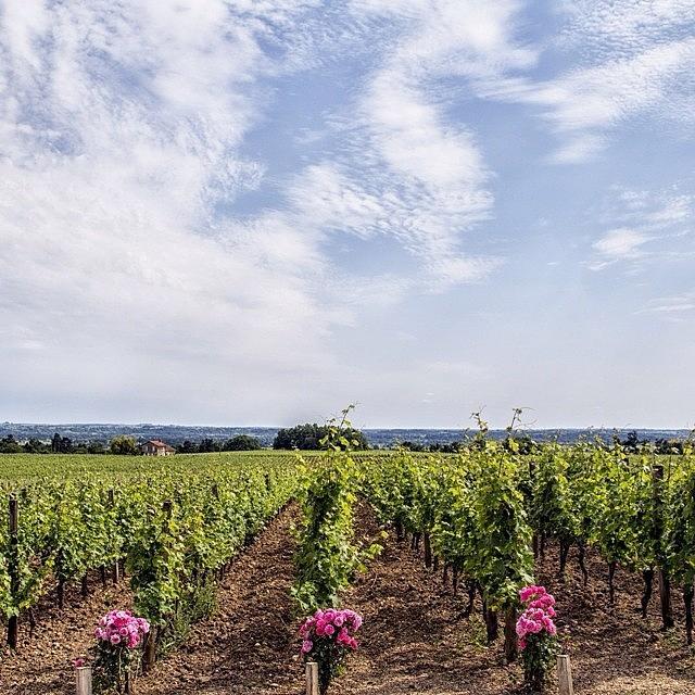 Love Photograph - St Emilion Grand Cru Vines by Georgia Fowler