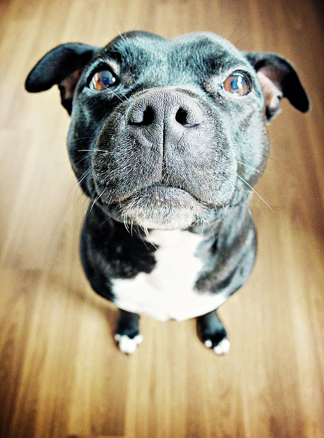 Staffordshire Bull Terrier Photograph by Michelle Mcmahon