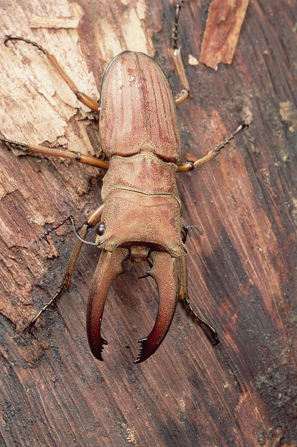 Stag Beetle Sarawak Borneo Photograph by Mark Moffett