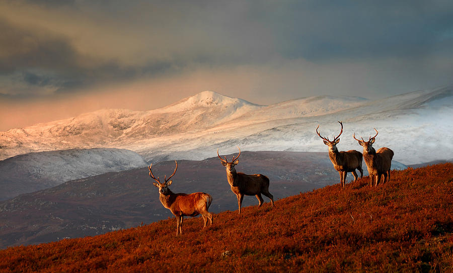 Stags at Strathglass by Gavin Macrae
