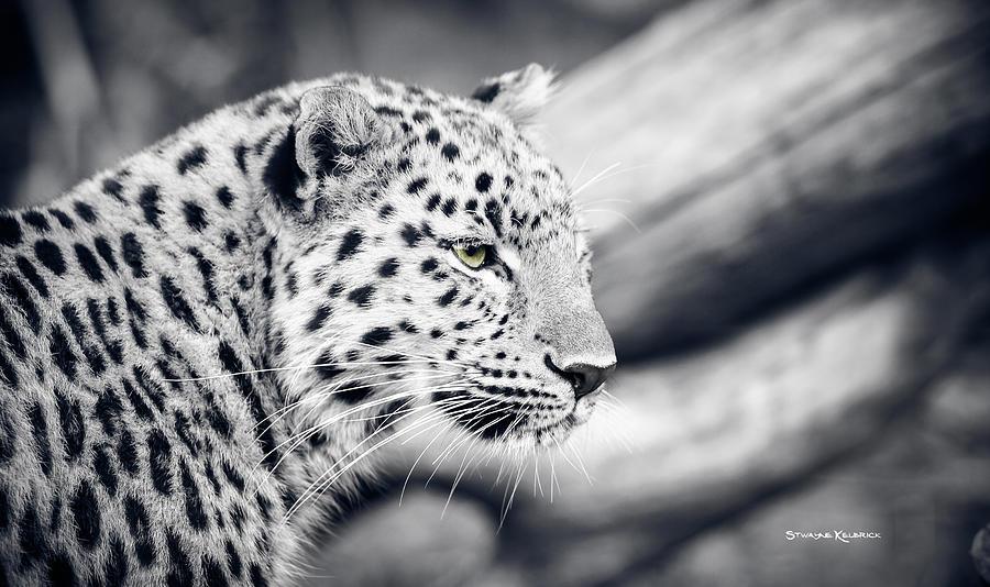 Panther Photograph - Stalking Prey by Stwayne Keubrick