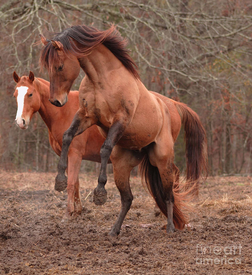 Horse Photograph - Stallion Rearing by Russell Christie