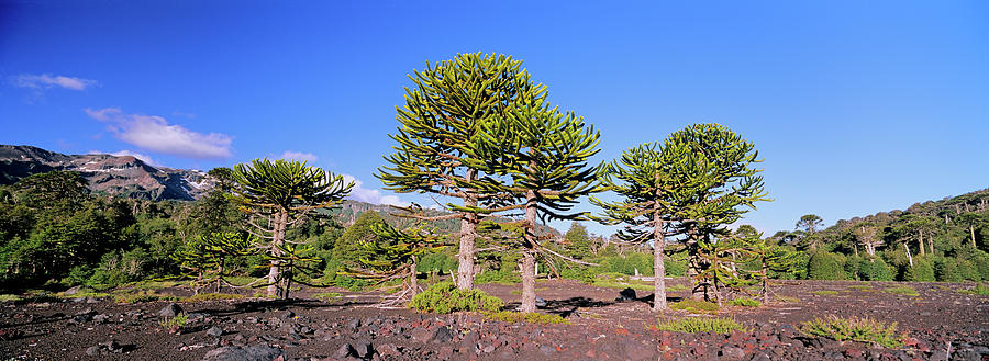 Araucaria Photograph - Stand Of Monkey Puzzle Trees (araucaria by Martin Zwick