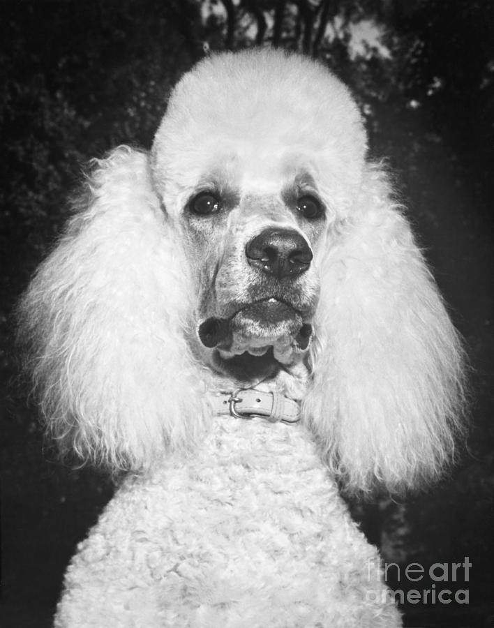Animal Photograph - Standard Poodle by ME Browning