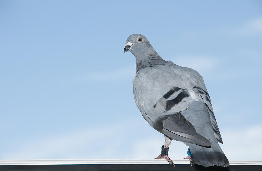 Standing homing pigeon looking leg-rings blue sky close-up Photograph by Wepix