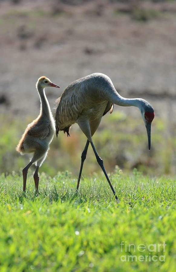Sandhill Crane Photograph - Standing Proud by Carol Groenen