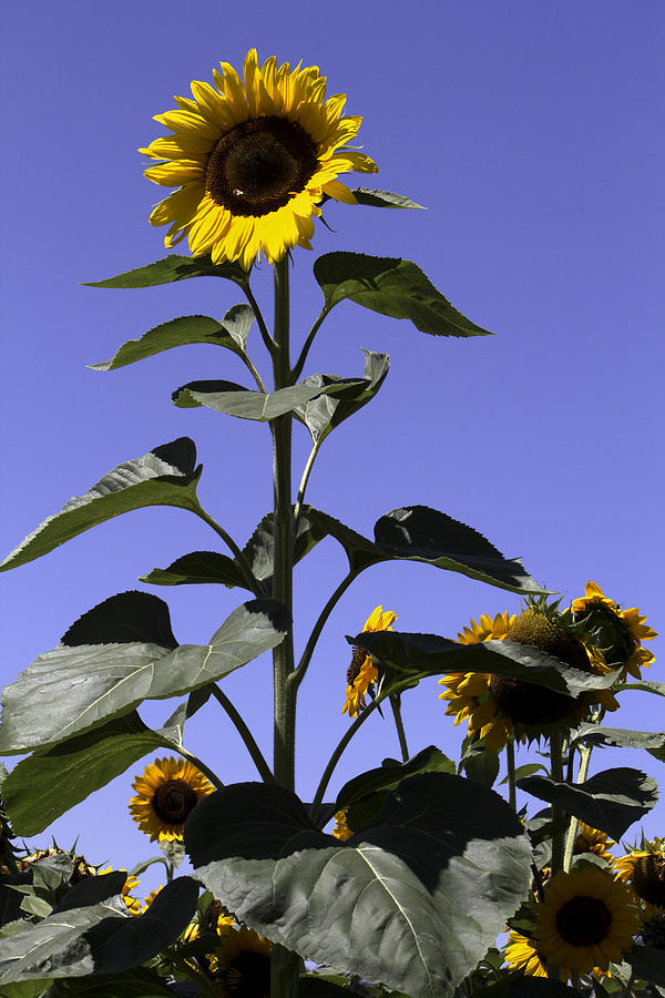 Sunflower Photograph - Standing Tall by John Holloway