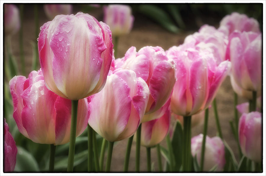 Tulips Photograph - Standing Tall by Kim Andelkovic