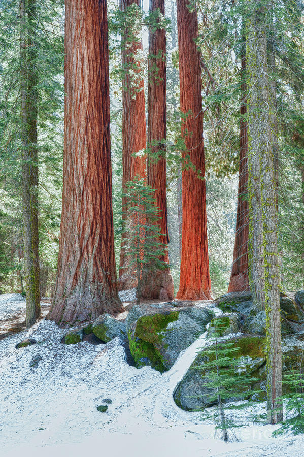 Hdr Photograph - Standing Tall - Sequoia National Park by Sandra Bronstein