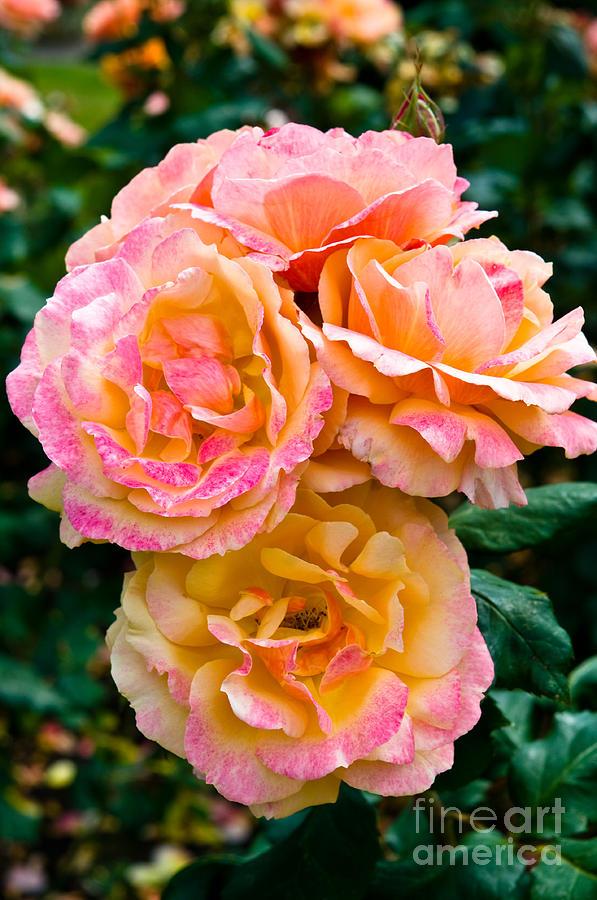 Rose Garden Photograph - Stanley Park Rose Garden 3 by Terry Elniski