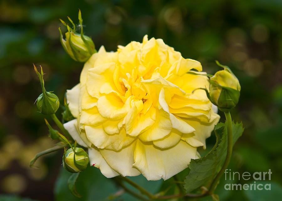 Rose Garden Photograph - Stanley Park Rose Garden 7 by Terry Elniski