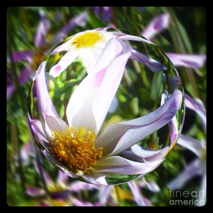 Star Dahlia Flower Globe Photograph