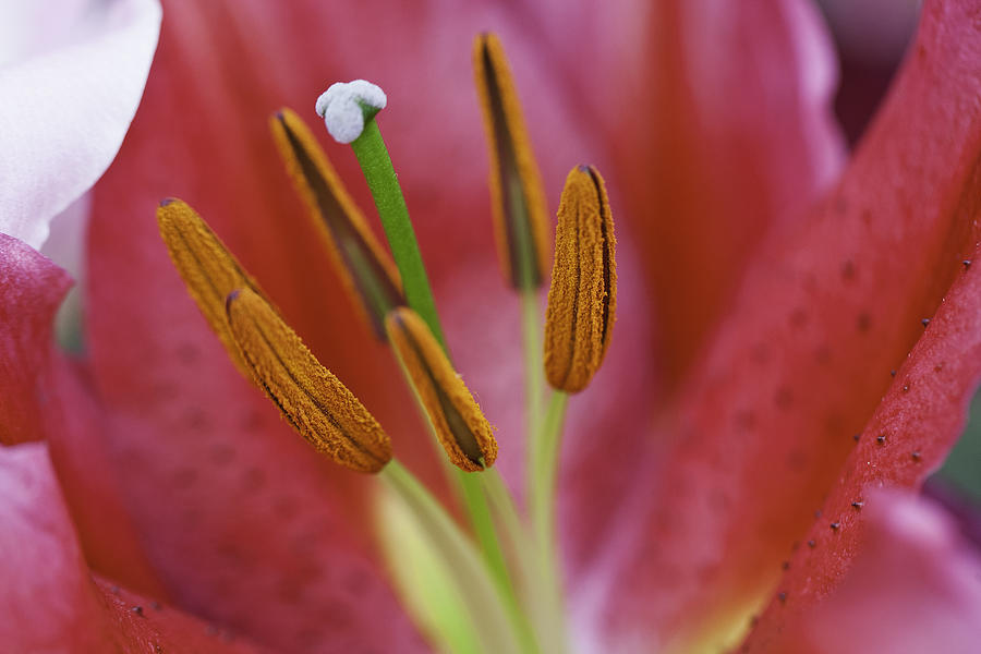 Stargazer Photograph - Star Gazer Lilly Macro by Lesley Rigg