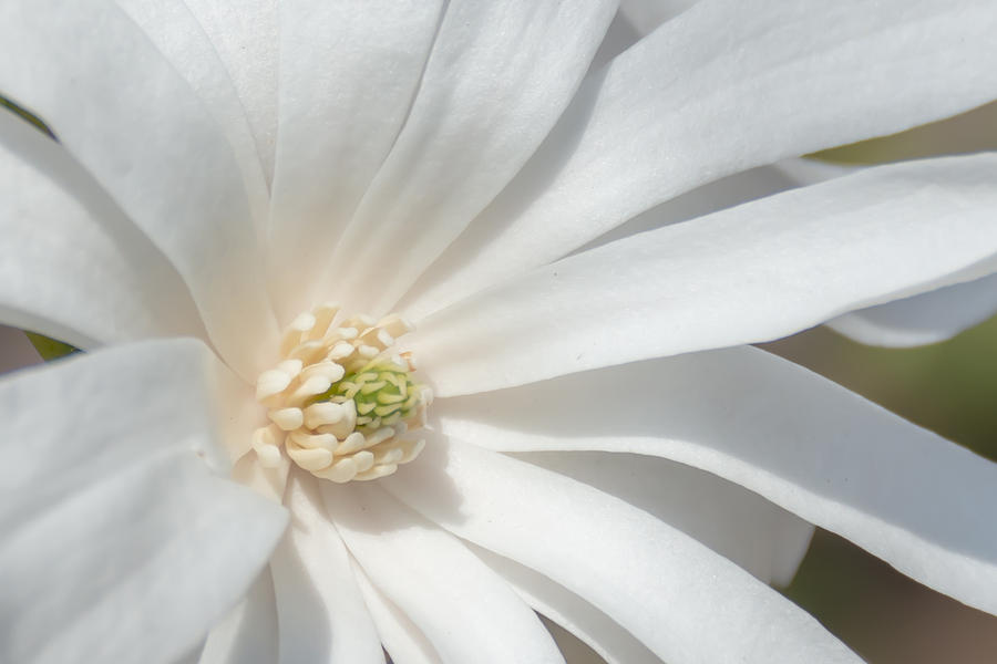 Flower Photograph - Star Magnolia Close-up by Priyanka Ravi