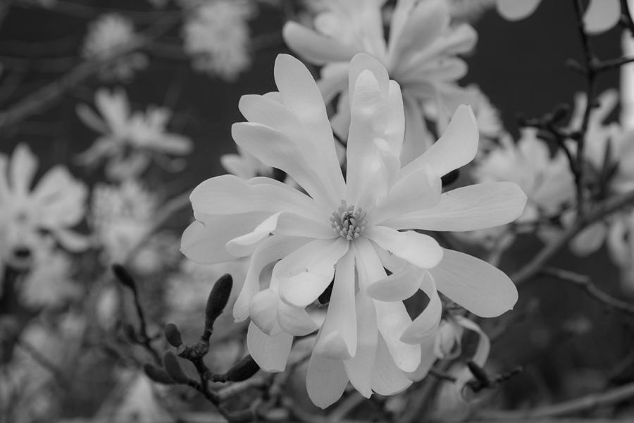 Flower Photograph - Star Magnolia Monochrome by Priyanka Ravi